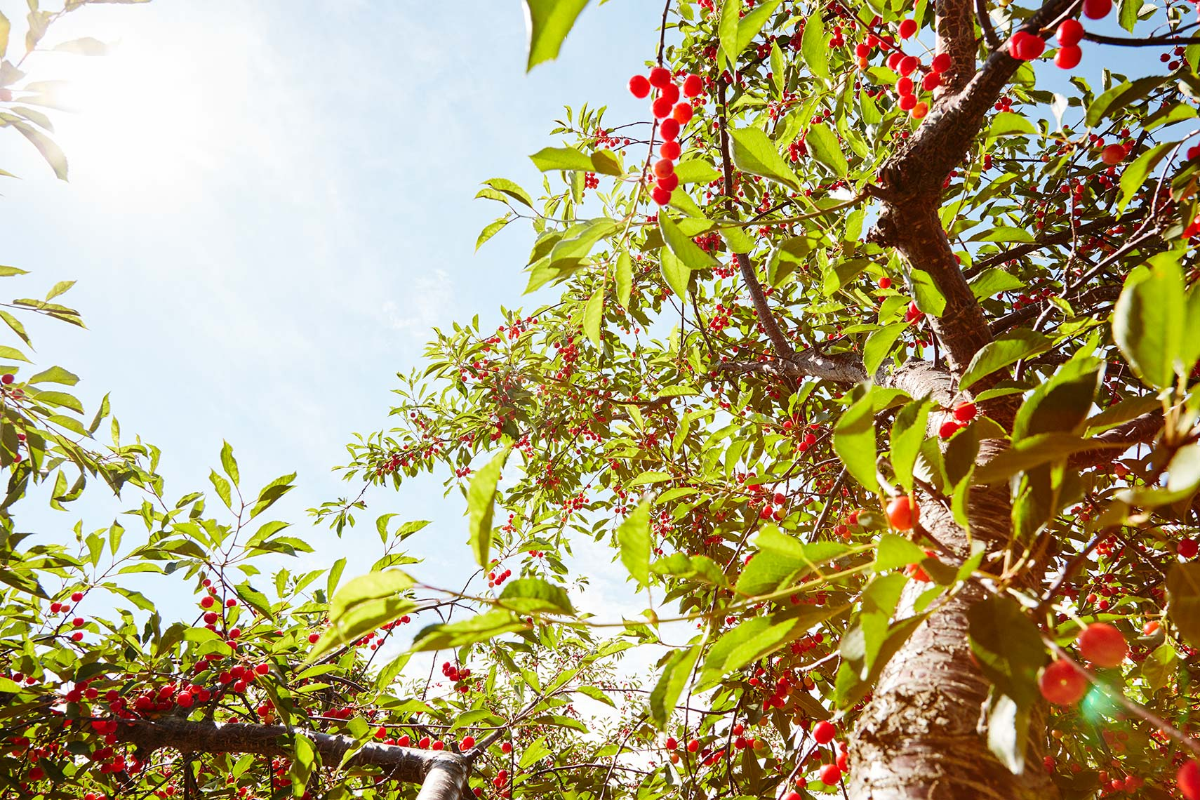 Michigan | Bardenhagen Cherry Farm