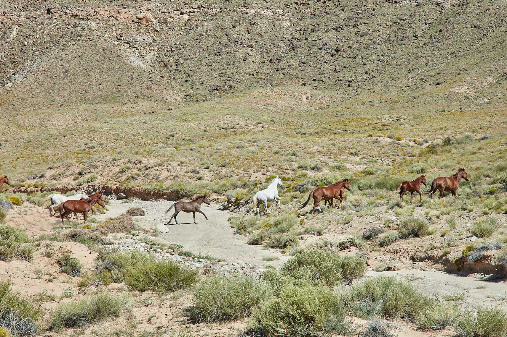 Galloping Horses | Towaoc, CO